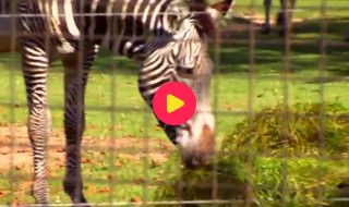 De Zoo-Reporters: Zebra compilatie