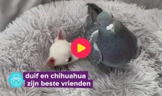 Deze duif en chihuahua zijn onafscheidelijk