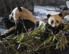 Karrewiet: Babypanda op komst?