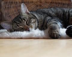 Karrewiet: Belgische kat besmet met het coronavirus