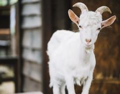Karrewiet: Geiten en schapen spelen brandweer