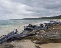 Karrewiet: 150 grienden aangespoeld in Australië