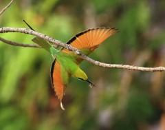 Karrewiet: Tropische vogel in ons land gespot!