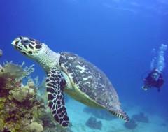 Karrewiet: Tweede grootste koraalrif niet meer bedreigd