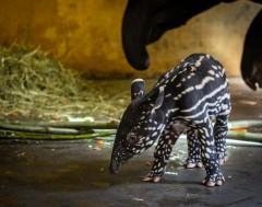Karrewiet: Schattige tapir geboren in Zoo van Antwerpen