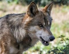 Karrewiet: Wolf doodt schapen...?