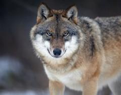 Karrewiet: Nieuwe wolf gespot
