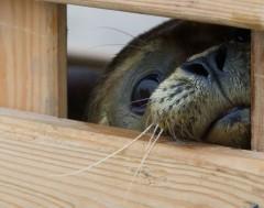 Karrewiet: Zeehonden opvangen? Beter niet doen!