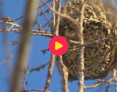 Karrewiet: Nieuwe techniek om Aziatische Hoornaars te vinden