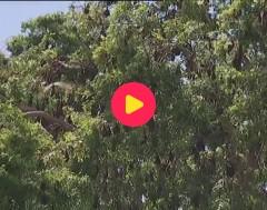 Karrewiet: Vleermuizenplaag in Australië