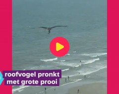 Karrewiet: Check deze roofvogel en z'n prooi