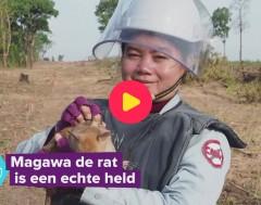 Karrewiet: Deze rat is een echte held