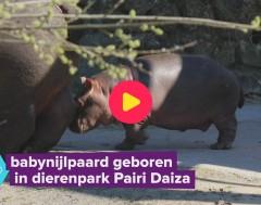 Karrewiet: Nijlpaardje geboren in Pairi Daiza