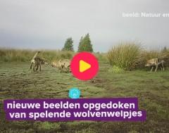 Karrewiet: Nieuwe beelden opgedoken van spelende wolvenwelpjes