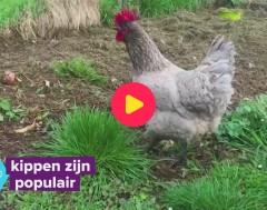 Karrewiet: Kippen zijn super populair