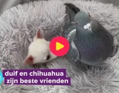 Karrewiet: Deze duif en chihuahua zijn onafscheidelijk