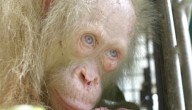 Albino orang-oetan
