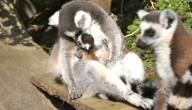 baby lemuren