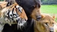 Beer tijger en leeuw
