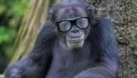 Bonobo bril