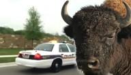 politie en bizon