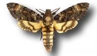 doodshoofdvlinder