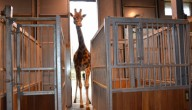 Giraf Ghonda is zwanger