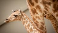 Klein girafje