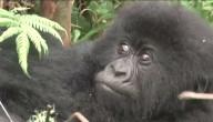 Veel gorilla's geboren