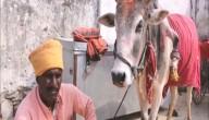 Vijfpotige koe