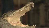 Een krokodil als huisdier... het is eens iets anders!
