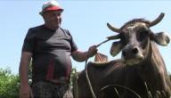 penka de koe mag blijven leven