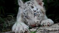Witte tijgerwelp