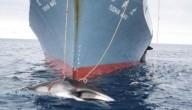 Een gevangen walvis
