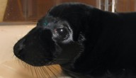 Zwarte zeehond