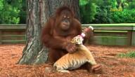 Orang oetan en tijgertje