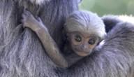gibbon aapje