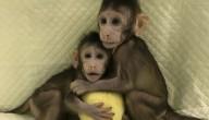 aapjes gekloond