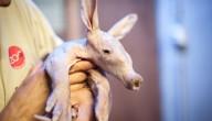 Aardvarkentje geboren in Zoo van Antwerpen