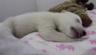 Ijsbeertje slaapt