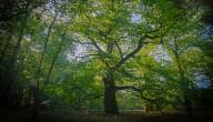 De mooiste boom van Vlaanderen