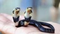 cobra met twee hoofden