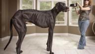 Grootste hond