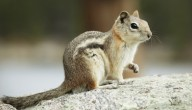 agressieve eekhoorn