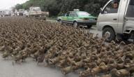 eenden in China