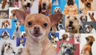 Chihuahua favoriete hond
