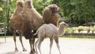 Kamelenbaby