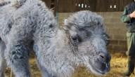 baby kameel