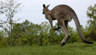 Kangoeroe ontsnapt in Merelbeke