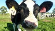 koe geeft allergievrije melk